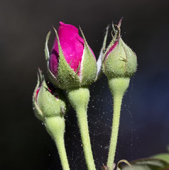 rose buds (watts photos1) Tags: rose buds flower flowers garden nature green red leaf leaves