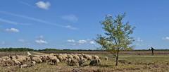 Bargerveen  -  ZO-Drenthe (henkmulder887) Tags: bargerveen weiteveen hoogveen schaap zodrenthe staatsbosbeheer veenbes lavendelheide beenbreek kudde schaapskudde moor turf zwartemeer herder hond