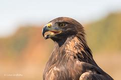Golden Eagle 501_4269.jpg (Mobile Lynn) Tags: goldeneagle birds portrait birdofprey eagles nature accipitridae aquilachrysaetos bird birdsofprey eagle fauna raptor wildlife coth specanimal