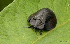 Tortoise Beetle, Stolas coalita? Cassidinae (Ecuador Megadiverso) Tags: andreaskay beetle cassidinae chrysomelidae coleoptera ecuador leafbeetle stolascoalita tortoisebeetle