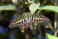ecosystem/fauna/Oriental Tailed Jay(Graphium agamemnon agamemnon) (biodiversity western ghats(before it is gone)) Tags: taxonomy:binomial=graphiumagamemnon
