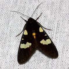 ecosystem/fauna/Forester Moth(Mimeusemia davidsoni)? (biodiversity western ghats(before it is gone)) Tags: taxonomy:binomial=mimeusemiadavidsoni