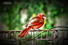 Not feeling so well ... (NancySmith133) Tags: northerncardinal backyardbirds centralfloridausa tenderfeelings