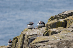 Puffins (ukalex) Tags: puffin puffins inner farne island nature bird birds wildlife sea rocks sky ornithology atlantic