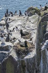 Shags (ukalex) Tags: shags bird birds inner farne nature rocks nests nest nesting travel