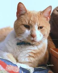forever in my heart (Judecat (HOME AGAIN!)) Tags: cat feline redtabby leo goodbye