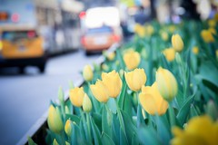 Taken by a standard lens (8-ballmabelleamie) Tags: tulips flowers flowerbeds michiganavenue magnificentmile