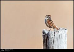 Bruant des marais (Sébastien Dionne photographe) Tags: bruant bruantdesmarais oiseau oiseaux bird birds canon cacouna parccôtierkiskotuk bassaintlaurent canon5dmarkiv canon5dmkiv 5dmarkiv 5dmkiv 150600mm 150600 sigma sigma150600 sigma150600dgoshsmsport sigma150600s