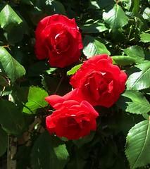 Rose (Anna Gelashvili) Tags: цветокроза роза rose flower цветок flowers цветочки roseflower красныецветочки ვარდი წითელივარდი ყვავილი ყვავილები garden