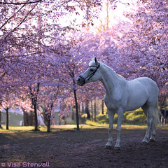 Beautiful horse surrounded by cherry trees (VisaStenvall) Tags: canon eos 6d 50mm f14 art sigma bokeh dof depth field out focus horse white cherry tree park finland suomi helsinki roihuvuori evening photoshoot