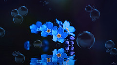 Blue Fantasy... (Piet photography) Tags: blue artwork forgetmenot macro