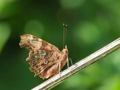 Comma (bredmañ) Tags: comma polygoniacalbum butterfly insect wild uk british wildlife handheld closeup macro nature naturallight olympus em1mkii 300f4
