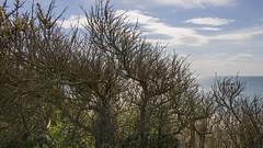 Havtorn (Walter Johannesen) Tags: havtorn plante ferring bovbjerg forårsdag
