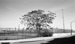 Sunset Park (neilsonabeel) Tags: contaxrts contax zeiss yashica blackandwhite brooklyn newyorkcity sunsetpark