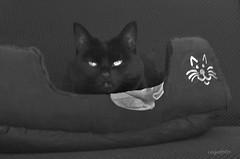 ...Lost sock... (cegefoto (Coming back slowly)) Tags: 119picturesin2019 lostsockmemorialday may9th cat sock kat sok poezenmand catbasket blackwhite zwartwit huisdier pet kitty