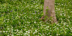 Near Helmsley, North Yorkshire (alh1) Tags: wildgarlic england northyorkshire woodsnearhelmsley ransoms