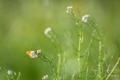 orange tip (Bart Hardorff) Tags: 2019 alblasserwaard barthardorff thenetherlands butterfly mei orangetip oranjetipje vlinder hardinxveldgiessendam