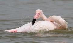 Flamant rose (Puce d'eau) Tags: flamant rose pink flamingo camargue marais bain échassier nature wildlife sauvage libre canon eos 7d 150600 tamron ornitho ornithology
