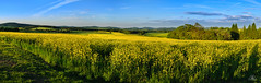 Yellow - Gelb (Uwe Kögler) Tags: felder rapsblüte rape viewpoint abend feld germany deutschland saxony sachsen lichtenberg lausitz frühling evening berge