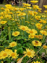 (Simply Sharon !) Tags: flowers springflowers nature bee flyinginsect insect yellow may