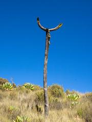 Giant groundsels, Kilimanjaro NP, Tanzania (Amdelsur) Tags: tanzanie séneçongéant continentsetpays parcdukilimandjaro afrique africa dendroseneciokilimanjari giantgroundsel kilimanjaronationalpark tz tza tanzania kilimandjaro