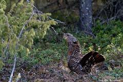 Capercaillie! (petergranström) Tags: capercaillie tjäder feather fjäder bird fågel träd trees skog forrest lingonris ris crotch kvistar öga eyes näbb