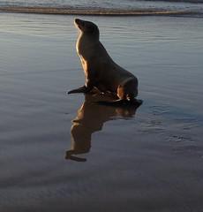 evening sun (ranchodon) Tags: ocean beach seal water reflection nature