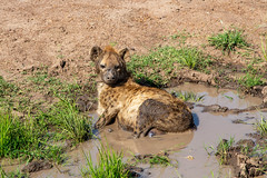 Could I Have Some Privacy Here? I'm Taking A Bath (Jill Clardy) Tags: africa kenya location mara vantagetravel safari 201902274b4a1401 hyena mud hole bath