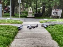 My Afternoon Path (reflection below) (Robert Cowlishaw (Mertonian)) Tags: urban trees robertcowlishaw journey vanishingpoint lush green canonpowershotsx70hs sx70hs powershot canon sidewalk pigeons spring2019 urbanpath path mertonian
