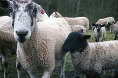 Eighties Sheep ... (1986) (Henry Hemming) Tags: sheep 1980s eighties farming glos gloucestershire lechlade cotswolds eyecontact eyeing kodakfilm cosmicsymbol 35mm camera