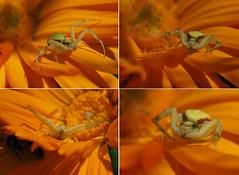 Crab spider (tobyjug5) Tags: ambush predator poser arachnid london spring wildlife em1mkii zuiko60mmmacro
