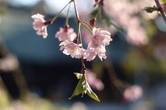 枝垂れ桜 / Cherry Blossoms     Rodenstock Heligon  50mm F 2.0 (情事針寸II) Tags: bokeh oldlens nature flower 桜 東京 府中 tokyo hutyuu 大國魂神社 ookunitamajinjyashrine rodenstockheligon50mmf20