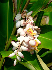 Shell Ginger (M.P.N.texan) Tags: ginger plant tropical shellginger flower flowers flowering bloom blooms blooming garden