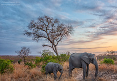 title recommendations? (Animal-scapes 3) (Darren Barnes Photography) Tags: grey gray pachyderm elephant dwoodphotography dwoodphotographycom animalscape 2018 south africa southafrica tree grass blue yellow gold golden