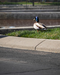 Day 538 | Urban Duck (JL2.8) Tags: meridian idaho unitedstatesofamerica duck canon 6dmk2 project365 365 photochallenge day538