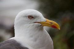 Regardez-moi dans les yeux ! (Faapuroa) Tags: animaux oiseau bird goéland gull bec beak mer sea palmipède palmiped nikon coolpix p900