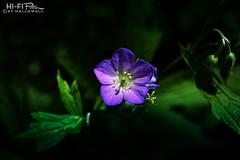 Pop of Purple (Hi-Fi Fotos) Tags: nikkor 40mm micro macro purple flower spring bloom may nature life plant flora hififotos hallewell