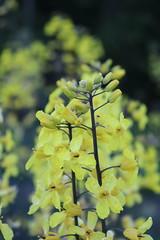 IMG_1706 (CSFS at UBC Farm) Tags: flowers brassicas