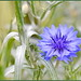 Say Yes to Cornflowers
