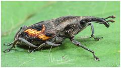 Weevil / Gorgojo (Panama Birds & Wildlife Photos) Tags: macro macrophotography wildlife wildlifephotography wild wildanimal wildlifephotographer animal insect insects insecto insectos bugs bug
