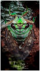 Cicada / Cigarra (Panama Birds & Wildlife Photos) Tags: macro macrophotography wildlife wildlifephotography wild wildanimal wildlifephotographer animal insect insects insecto insectos bugs bug