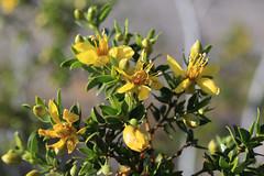 Creosote Bush (fksr) Tags: creosotebush larreatridentata plant flowers yellow desert deathvalleynationalpark california