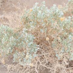 Desert Holly (fksr) Tags: desertholly atriplexhymenelytra bush branches dry leaves plant desert deathvalleynationalpark california