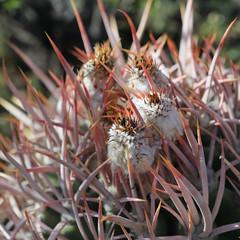 Cottontop Cactus (fksr) Tags: cottontopcactus echinocactuspolycephalus plant spines spiky desert deathvalleynationalpark california