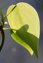 Sunlit Heart-Leaf (peterkelly) Tags: digital canon 6d northamerica canada ontario wheatley pierroad plant leaf green shadow houseplant window sunlight sun light sunlit heartleafphilodendron