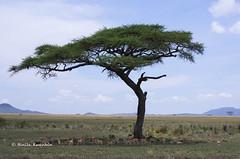 IMGP1420-2 (b kwankin) Tags: africa acacia gazellethomsons serengeti tanzania