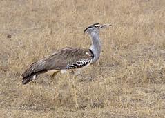 IMGP1053-2 (b kwankin) Tags: africa bird bustardkori ngorongoro tanzania