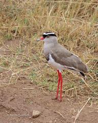 IMGP1049-2 (b kwankin) Tags: africa bird lapwingcrowned ngorongoro tanzania
