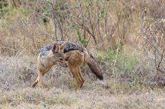 IMGP0955-2 (b kwankin) Tags: africa jackalblackbacked ngorongoro tanzania