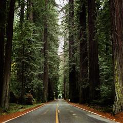 Avenue of the Giants (alyssabarry2009) Tags: humboldtredwoodsstatepark humboldtcounty filmisnotdead kodakfilm california avenueofthegiants redwoods filmphotography mediumformat hasselblad500cm hasselblad